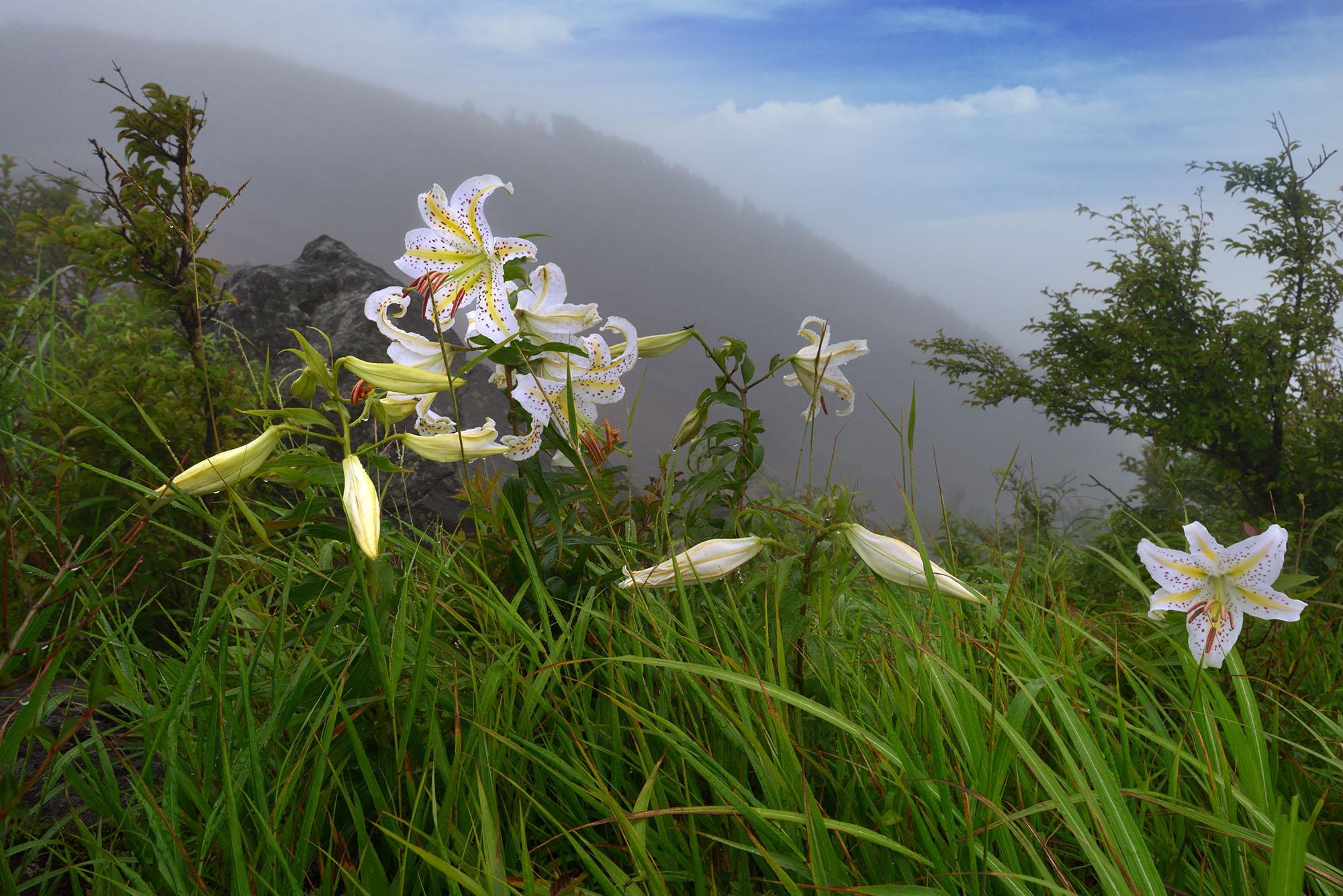 明神ケ岳の山百合の花