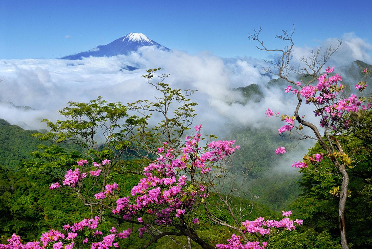 丹沢・日高より富士山とミツバツツジ