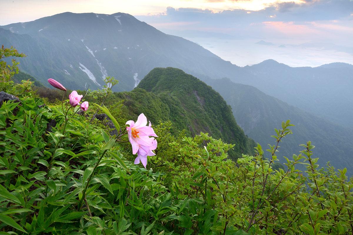 稜線上に咲くヒメサユリ